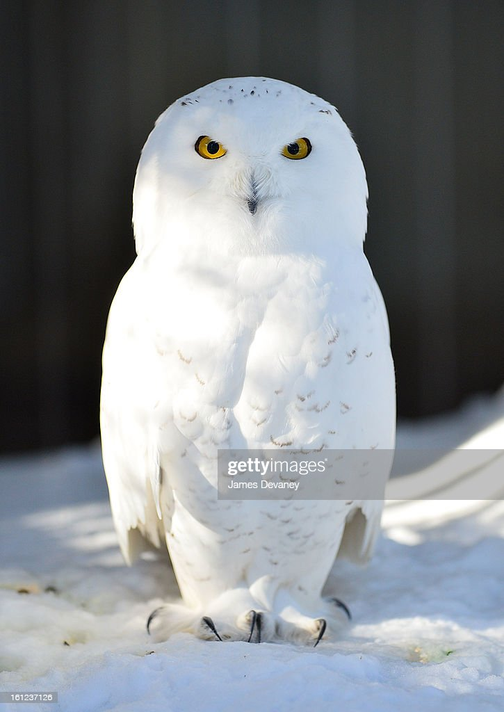 A snowy owl is seen at the Bronx Zoo after a snow storm on February 9, 2013 in the Bronx borough of New York City.