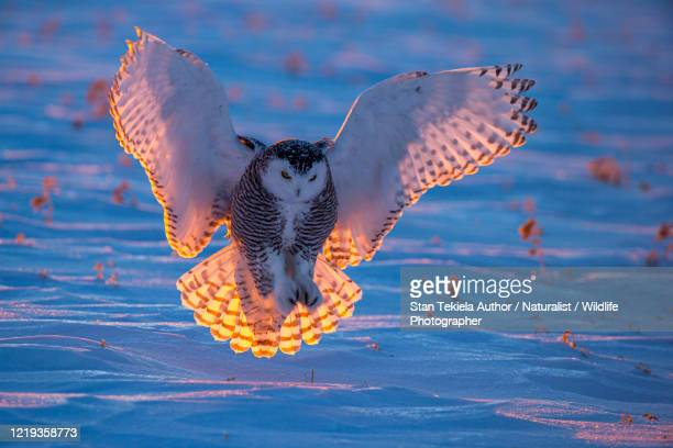 snowy owl landing at sunset on the snow with orange sun back light - snowy owl stock pictures, royalty-free photos & images