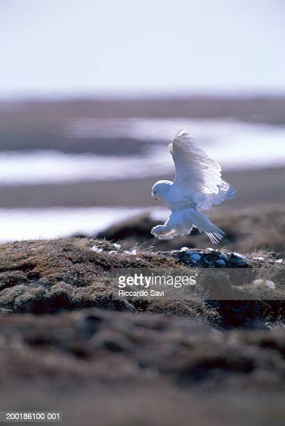 snowy owl (nyctea scandiaca) landing on nest, side view - snowy owl stock pictures, royalty-free photos & images