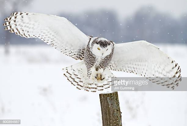 snowy owl landing - chouette blanche photos et images de collection
