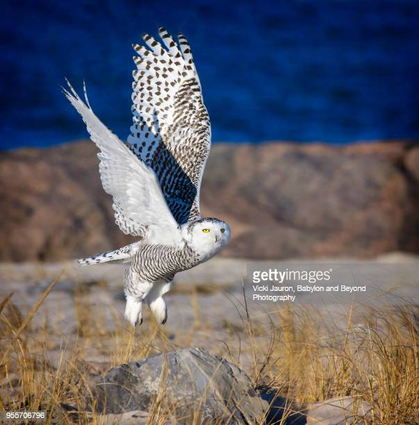 snowy owl lifting from perch on the rocks at jones beach - snowy owl stock pictures, royalty-free photos & images