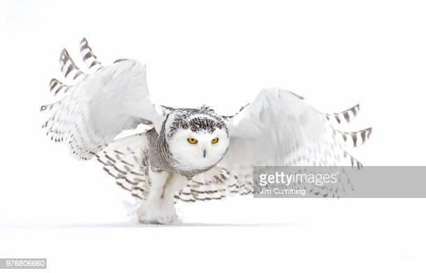 snowy owl (bubo scandiacus) lifts off to hunt over a snow covered field in canada - snowy owl stock pictures, royalty-free photos & images