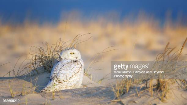 snowy owl perched in dunes at sunrise at jones beach, long island - jones beach stock-fotos und bilder