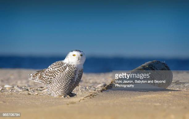 snowy owl perched on beach against water and blue sky at jones beach - jones beach stock pictures, royalty-free photos & images