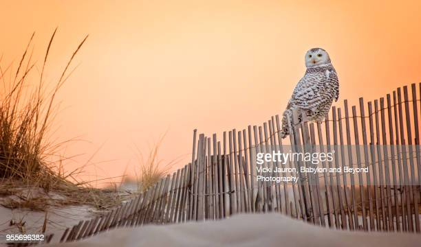 Snowy Owl Perched on Fence at Sunrise at Jones Beach, Long Island