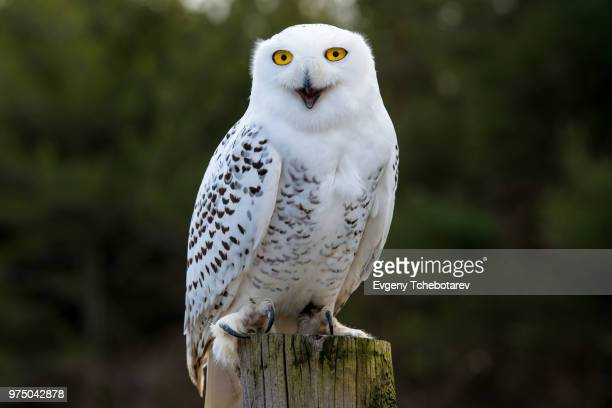 snowy owl (bubo scandiacus) perching on wooden pole, canadian raptor conservancy, port dover, ontario, canada - snowy owl stock pictures, royalty-free photos & images