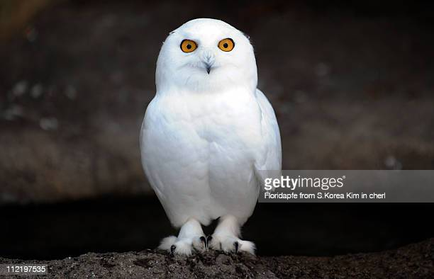 snowy owl - chouette blanche photos et images de collection