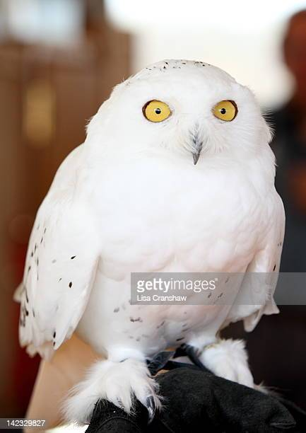 snowy owl - lisa cranshaw stock pictures, royalty-free photos & images