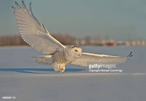 snowy owl - snowy owl stock pictures, royalty-free photos & images