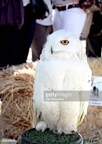 snowy owl - iñaki respaldiza stock pictures, royalty-free photos & images