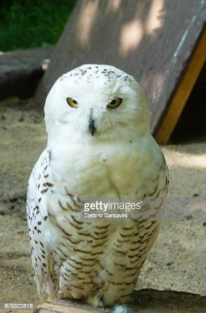 snowy owl - czech hunters stock pictures, royalty-free photos & images
