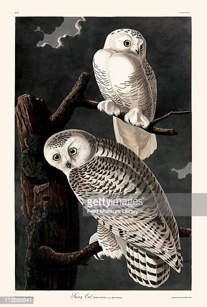 Snowy Owl Plate 121 in John James Audubon's Birds of America late 1830s