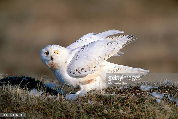snowy owl (nyctea scandiaca), side view - snowy owl stock pictures, royalty-free photos & images