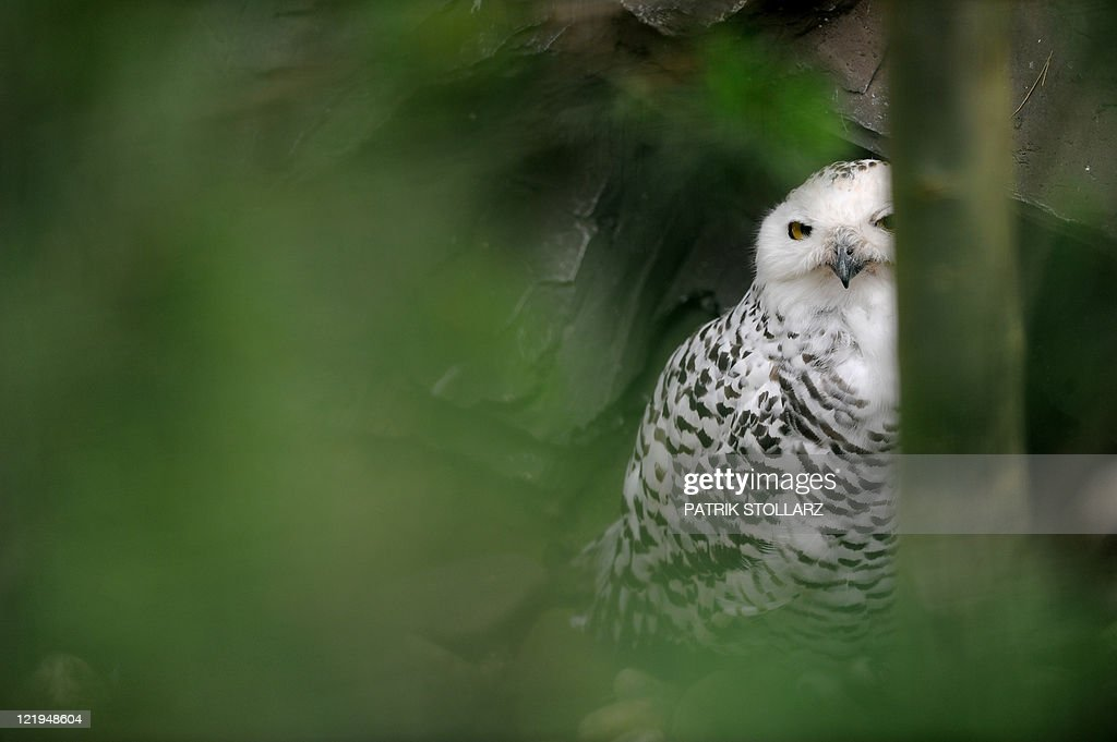 A snowy owl sits in its enclosure at the