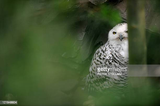 A snowy owl sits in its enclosure at the ZOOM Zoo on August 23 2011 in Gelsenkirchen western Germany The bird one of the largest owl species is also...