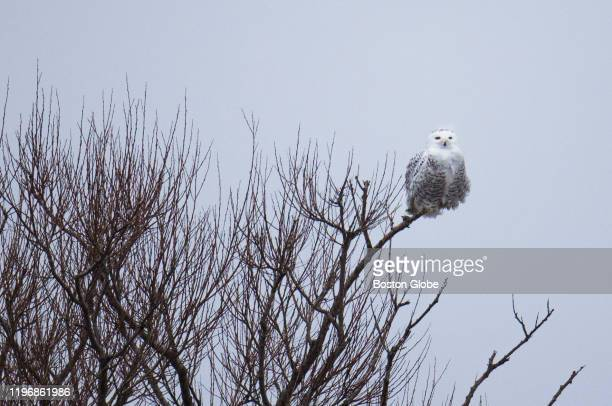 Snowy Owl sits perched at the top of a tree in the Parker River National Wildlife Refuge in Newbury, MA on Jan. 25, 2020. The Super Bowl of Birding...