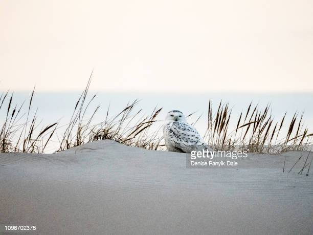 snowy owl sitting on beach sand dune at dusk - panyik-dale stock photos and pictures