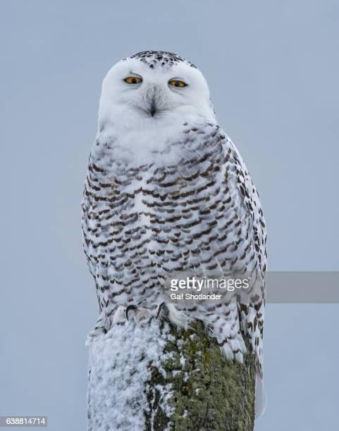 Snowy Owl Sitting on Post