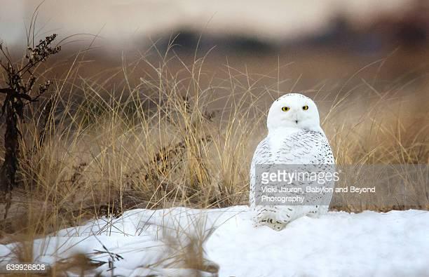 Snowy Owl (Bubo Scandiacus) Sitting on Snow at Jones Beach