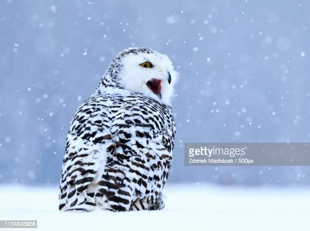 snowy owl sitting on the snow. winter scene with snowflakes in wind - czech hunters stock pictures, royalty-free photos & images
