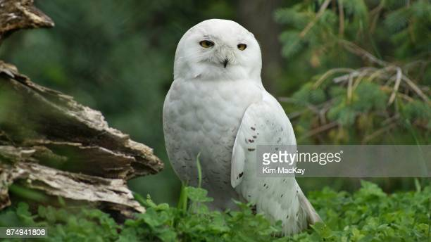 snowy owl standing on the grass, woodland background - snowy owl stock pictures, royalty-free photos & images