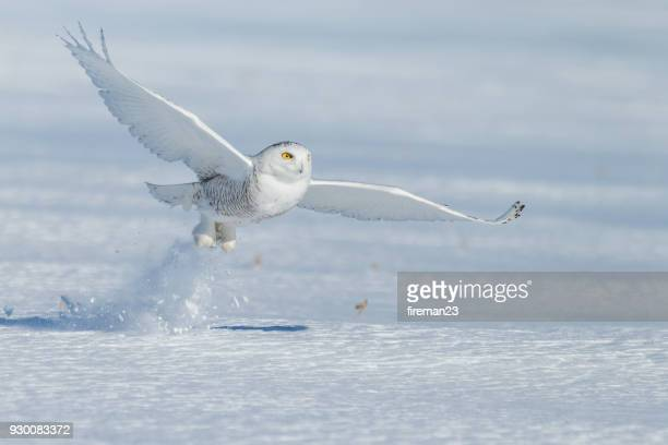 snowy owl taking off in the snow, montreal, quebec, canada - chouette blanche photos et images de collection