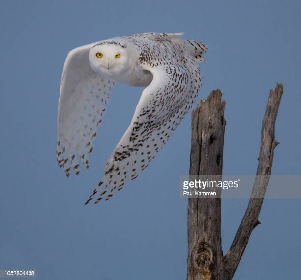 snowy owl taking off - snowy owl stock pictures, royalty-free photos & images