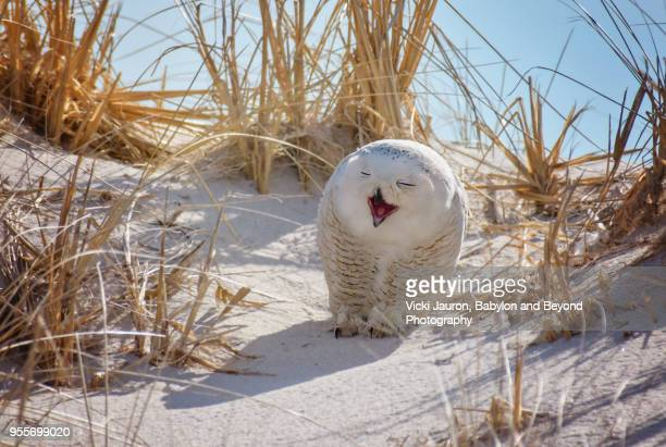 snowy owl with mouth open as if to laugh at jones beach - wantagh stock pictures, royalty-free photos & images