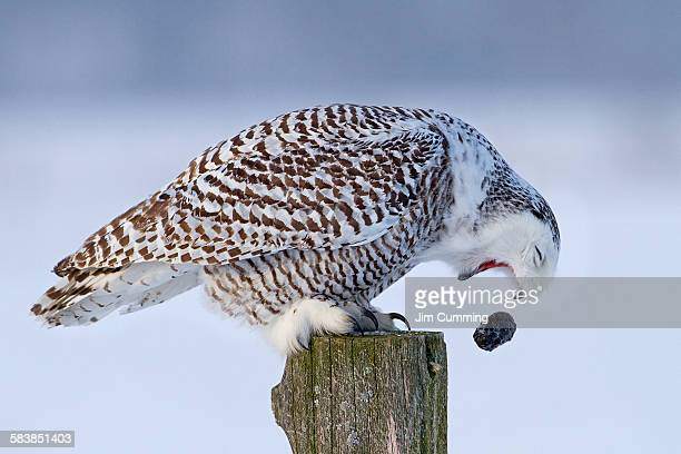 Snowy owl with pellet