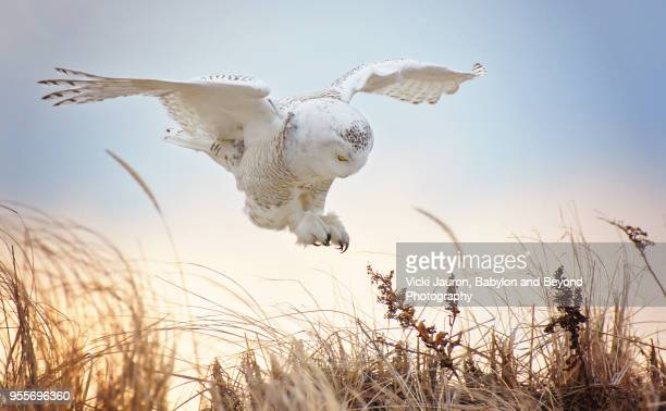 snowy owl with talons out about to land at jones beach, long island. - chouette blanche photos et images de collection