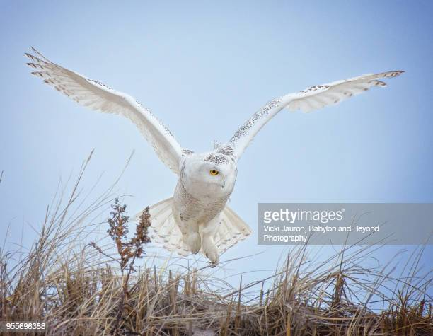 snowy owl with wings up taking off at jones beach - chouette blanche photos et images de collection