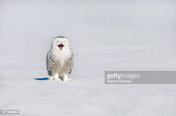 Snowy owl (Bubo scandiacus) yawning on snowy field in winter, Quebec, Canada