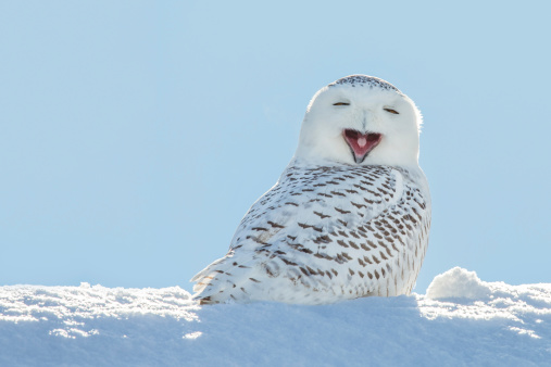 Snowy Owl - Yawning / Smiling in Snow 486596655