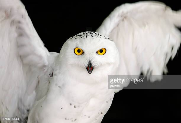 snowy owl yellow eyes on black - snowy owl stock pictures, royalty-free photos & images