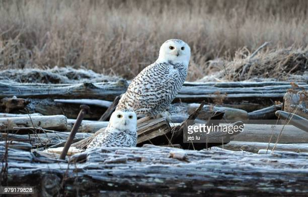 snowy owls (bubo scandiacus), ladner, british columbia, canada - snowy owl stock pictures, royalty-free photos & images