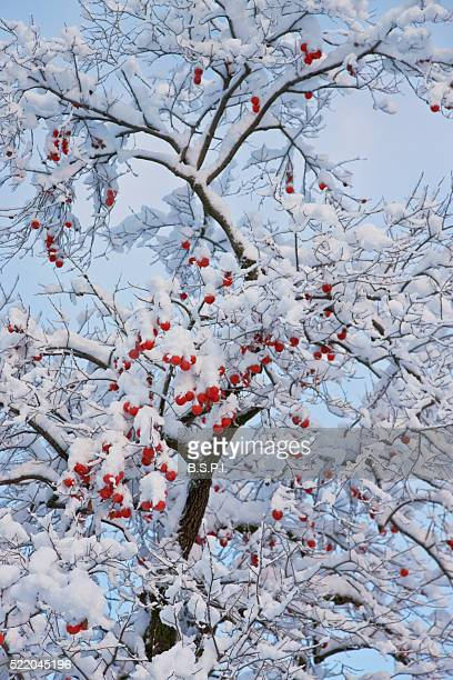 snowy persimmon tree laden with kaki fruit in kyoto, japan - fruit laden trees stock pictures, royalty-free photos & images