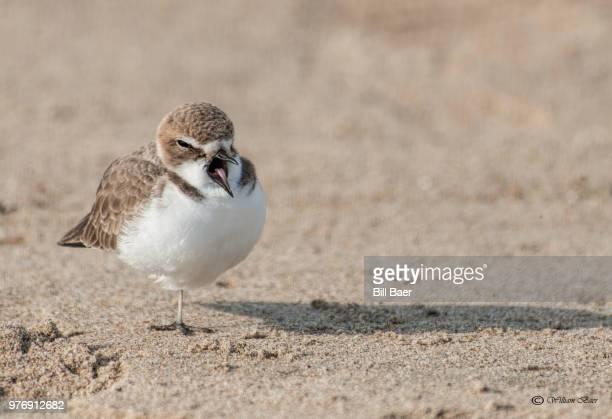 snowy plover (charadrius nivosus) bird - kentish plover stock pictures, royalty-free photos & images