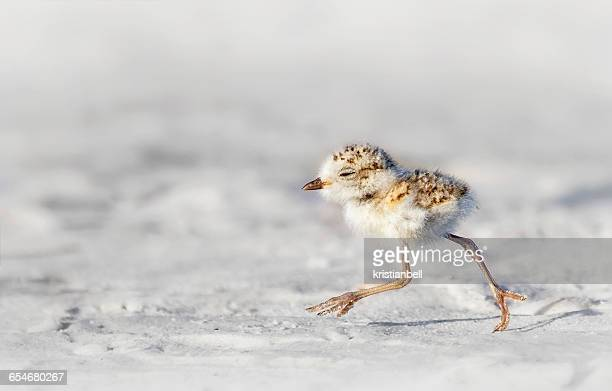 snowy plover (charadrius nivosus) chick, florida, america, usa - kentish plover stock pictures, royalty-free photos & images