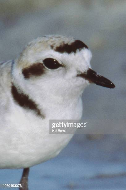 snowy plover close-up - kentish plover stock pictures, royalty-free photos & images