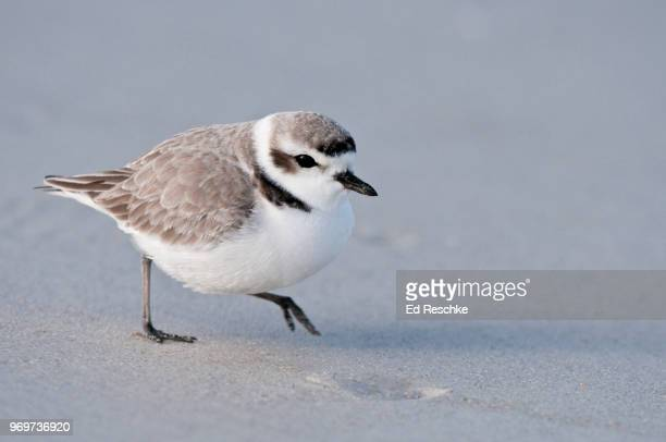snowy plover darting about on a sandy beach, charadrius alexandrinus - ed reschke photography stock photos and pictures