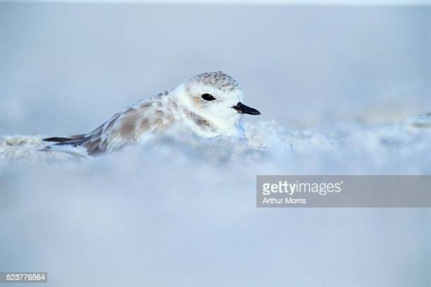 snowy plover perched on lido beach in florida - kentish plover stock pictures, royalty-free photos & images