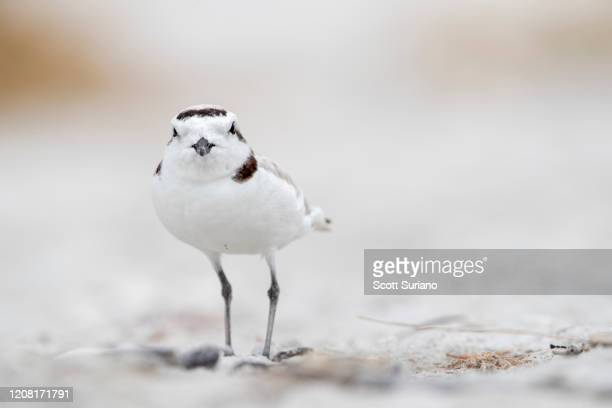 snowy plover - kentish plover stock pictures, royalty-free photos & images