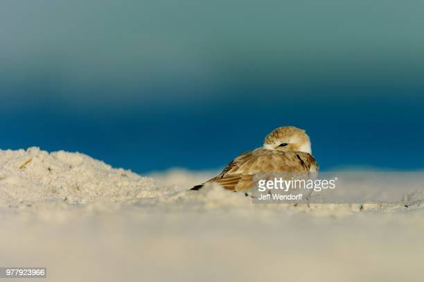 snowy plover (charadrius nivosus) - kentish plover stock pictures, royalty-free photos & images