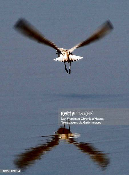 Snowy Plover soars over the marsh at the Eden Landing Ecological Reserve on Tuesday July 9 in Hayward, Calif. On May 31, 2012. The California...