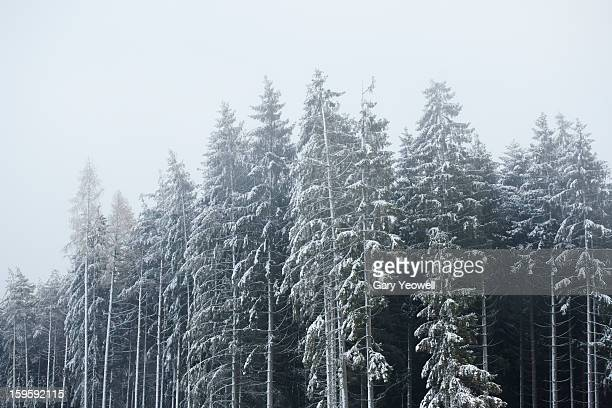 snowy scene with pine trees - yeowell stock photos and pictures