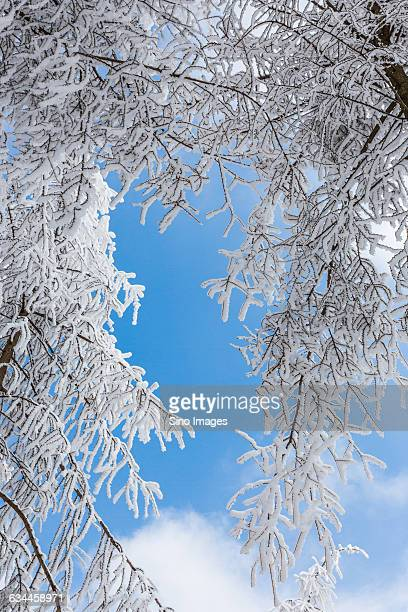 snowy sight - eastern white pine stock pictures, royalty-free photos & images