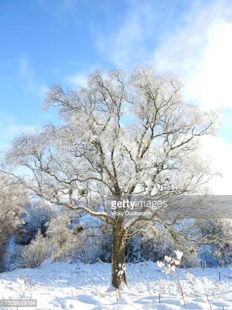 snowy silver birch - árbol de hoja caduca fotografías e imágenes de stock