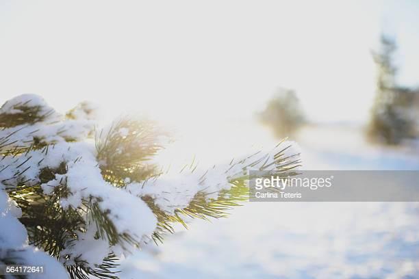 Snowy tree branch at sunrise