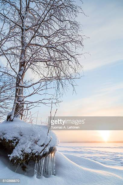Snowy tree, icicles and sunrise at a frozen and snowy lake in Finland in the winter.