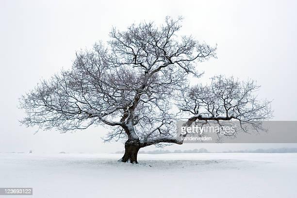 albero delle nevi - albero spoglio foto e immagini stock